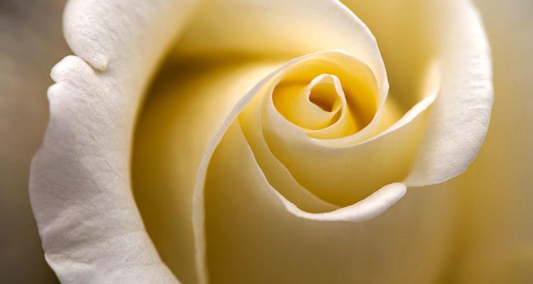 Rose - Hortus Focus