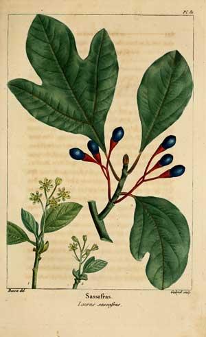 Sassafras albidium