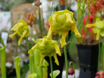 Sarracenia flave 'Slack's maxima'- Hortus Focus