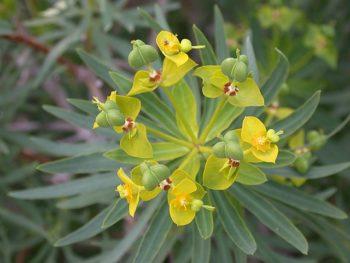 Euphorbia dendroides - Hortus Focus
