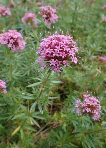 bordures fleuries : Crucianelle - Hortus Focus