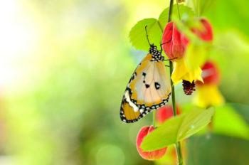Abutilon megapotanicum - Hortus Focus