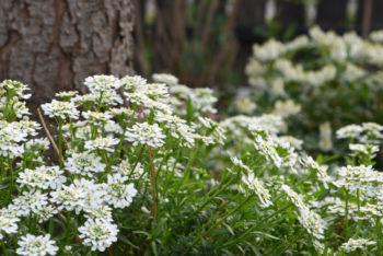 bordures fleuries : Arabis caucasica - Hortus Focus