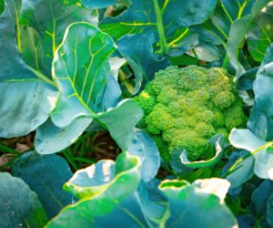 Brocoli - Hortus Focus