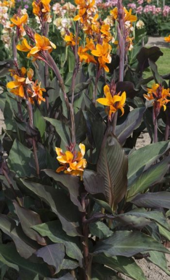 Canna 'Semaphore' - Hortus Focus