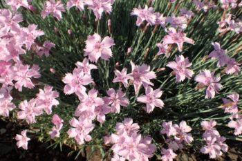 Dianthus plumarius - Hortus Focus