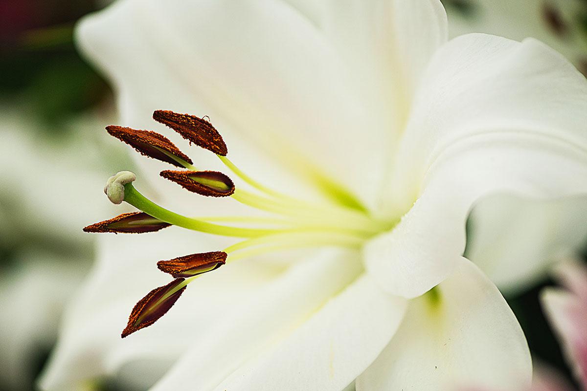 liliim - Hortus Focus