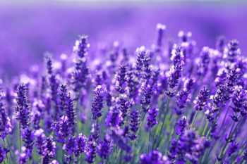 bordures fleuries : Lavandula - Hortus Focus