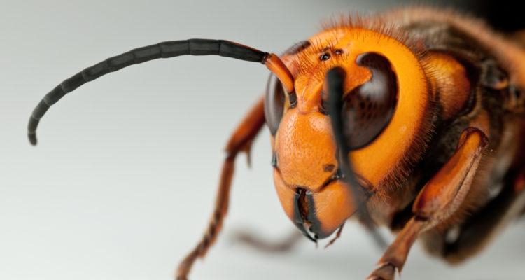 Vespa mandarinia - Hortus Focus