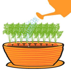 carottes grelot - les rangs