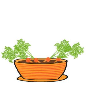 carottes grelot - le ramassage