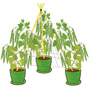 haricots verts : la récolte