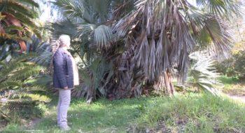 palmier afghan - Hortus Focus