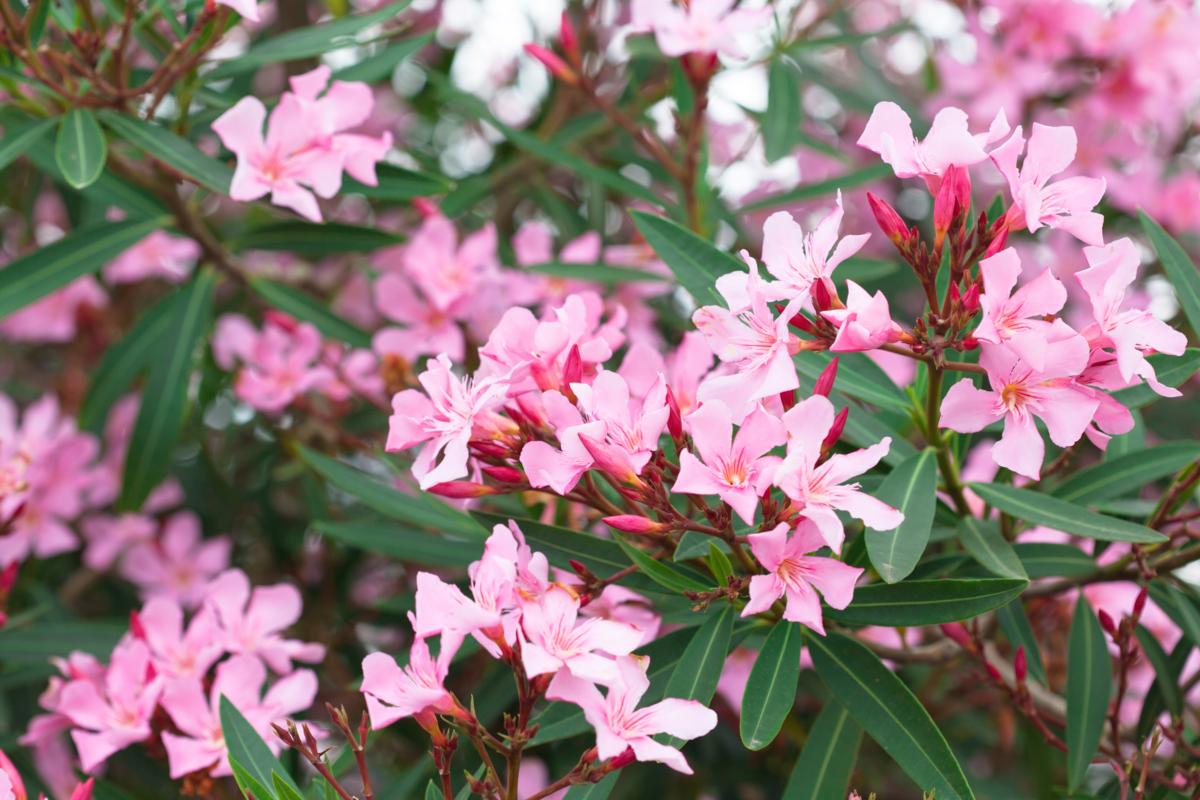 Nerium oleander - Hortus Focus