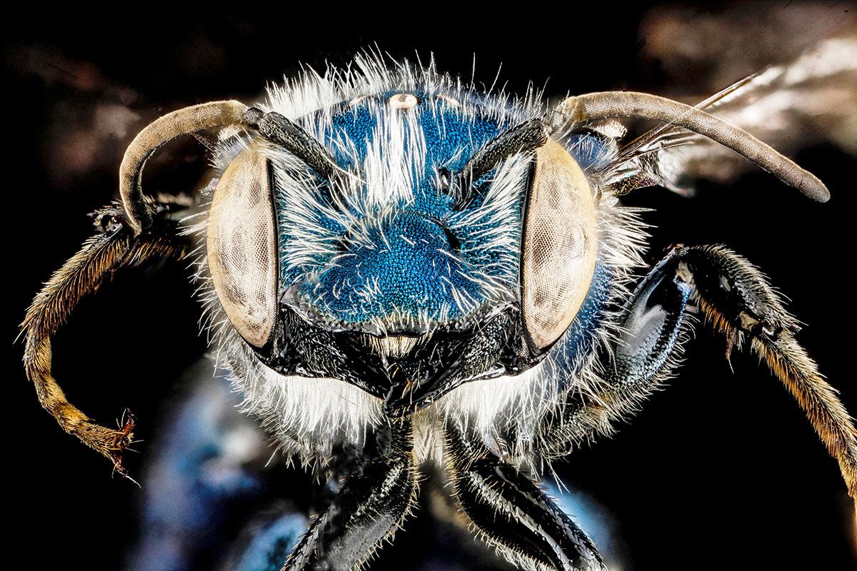 Osmia chalybea - Hortus Focus