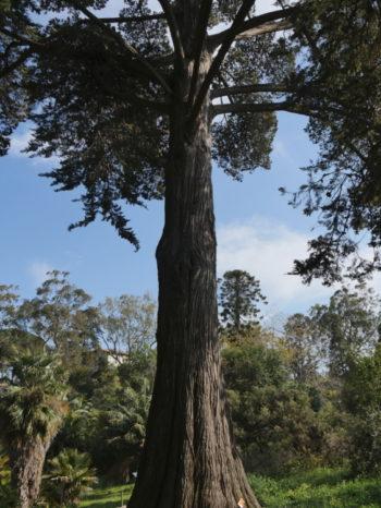 cupressus macrocarpa - Hortus Focus