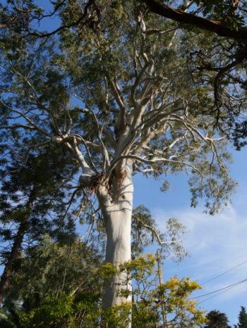 Eucalyptus dorrigoensis - Hortus Focus