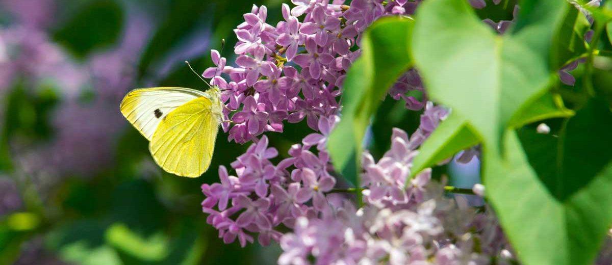 Papillon citron Gonepteryx_rhamni