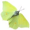 papillon : Gonepteryx-_rhamni