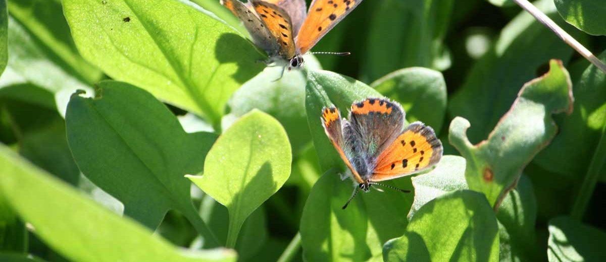 papillon : Lycaena phlaeas-