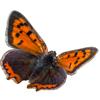 papillon : Lycaena phlaeas