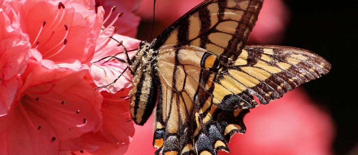 Papillon Machaon