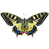 Papillon : Machaon
