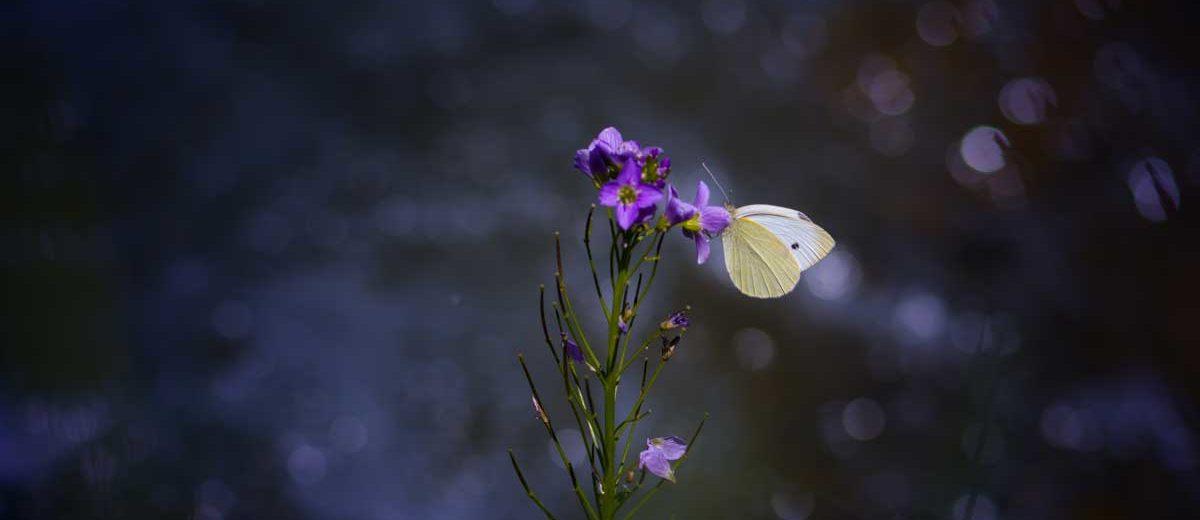 Papillon : Piéride du chou - Pieris brassicae