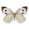 papillon : Pieris brassicae