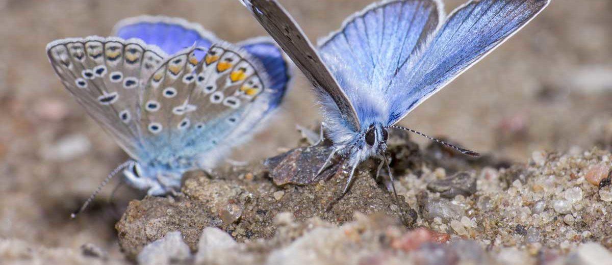 Papillon : Polyommatus icarus