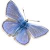 Papillon l'argus bleu