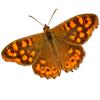 papillon : Tircis