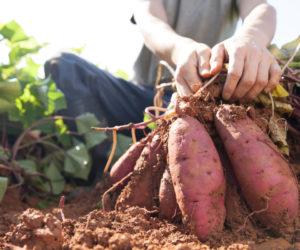 patate douce - Hortus Focus