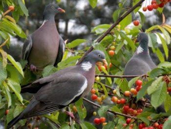 pigeon cerisier - Hortus Focus
