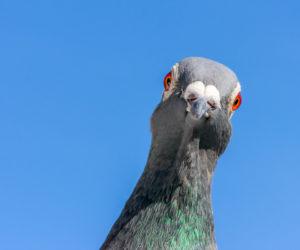 pigeon - Hortus Focus