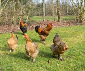 poules et coqs brahma - hortus focus