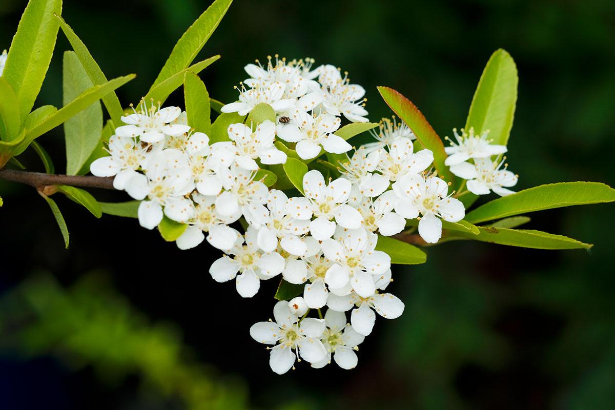 Floraison pyracantha - Hortus Focus