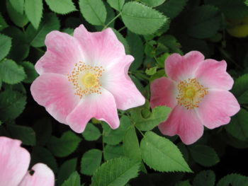 Rosiers botaniques : Rosa canina - Hortus Focus