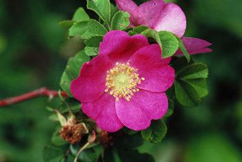 Rosiers botaniques : Rosa forrestiana - Hortus Focus