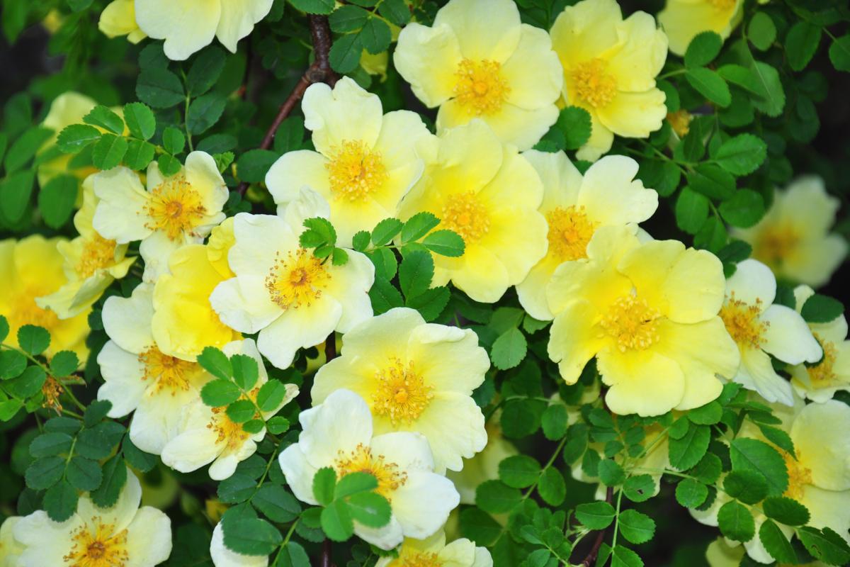 Rosiers botaniques : Rosa hugonis - Hortus Focus