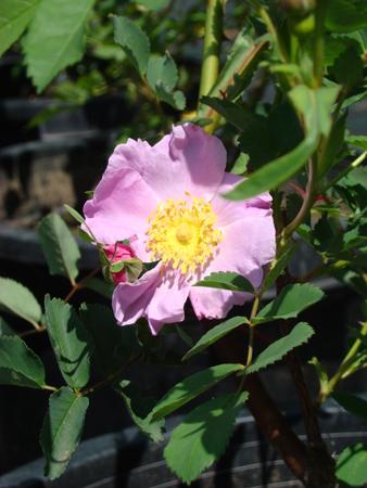 Rosiers botaniques : Rosa nutkana - Hortus Focus