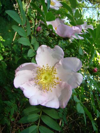 Rosiers botaniques : Rosa roxburghii 'Normalis' - Hortus Focus
