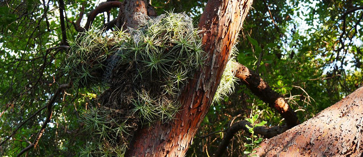 Arbustus andrachnoides - Hortus Focus