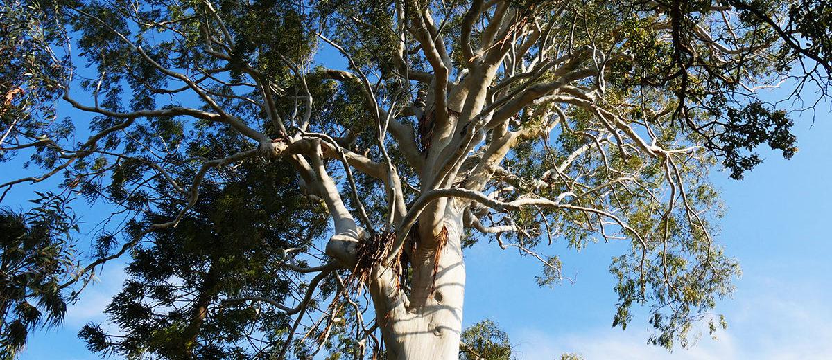 Eucalyptus - Hortus Focus