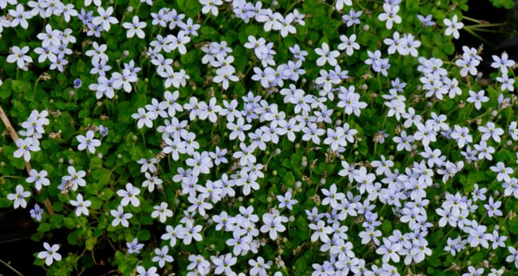 Pratia pedunculata - Hortus Focus