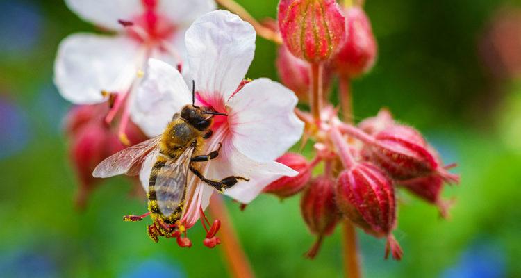 abeille - fleur - Hortus Focus