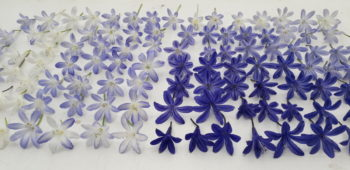 agapanthe fleurs - Hortus Focus