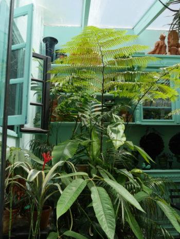 Dicksonia antartica en serre - Hortus Focus