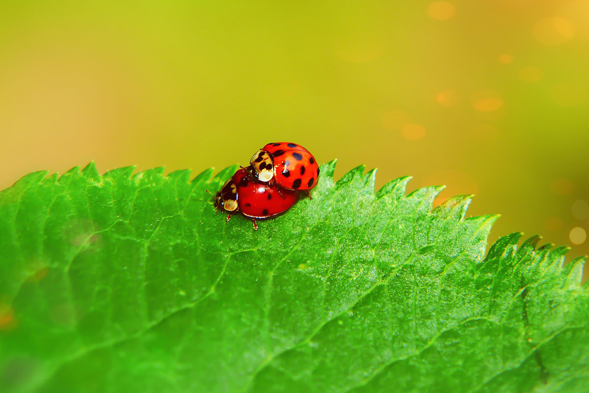 coccinelle reproduction - Hortus Focus