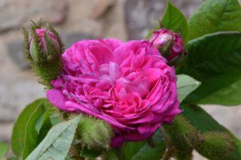 Rosa Capitaine Basroger - Hortus Focus